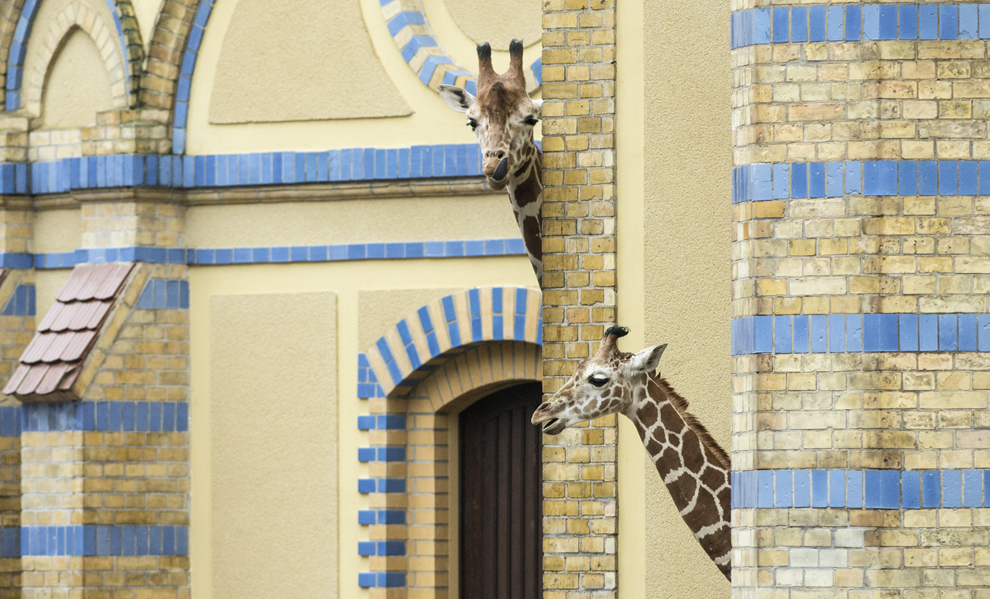 Girafe stau în ţarcul lor din grădina zoologică din Berlin, Germania, vineri, 21 februarie 2014.