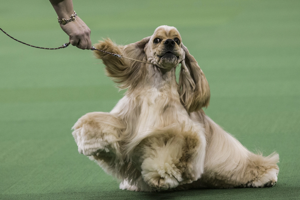 Un câine din rasa Cocker Spaniel concurează în timpul show-ului Westminster Dog Show, în New York, marţi, 11 februarie 2014.