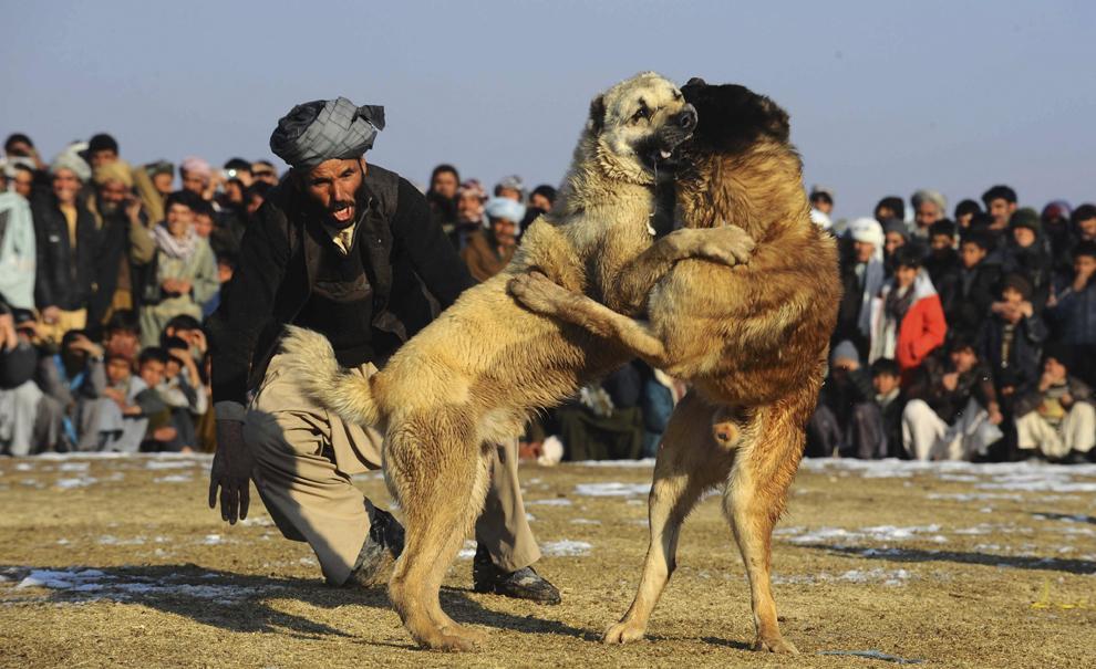 Un bărbat ţipă la câinele său, în timpul unei lupte de câini, la periferia oraşului Herat, Afganistan, joi, 9 ianuarie 2014.