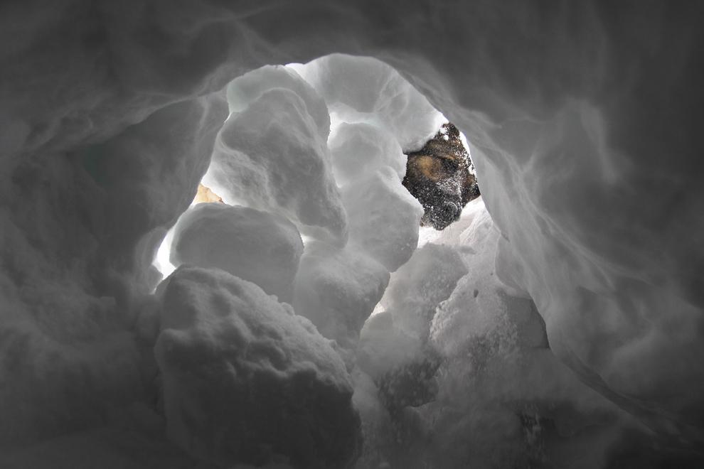 Câinele Aico caută o persoană îngropată în zăpadă, în timpul dresajului pentru operaţiuni de salvare, în apropiere de muntele Alpspitze din Garmisch-Partenkirchen, Germania, vineri, 17 ianuarie 2014.