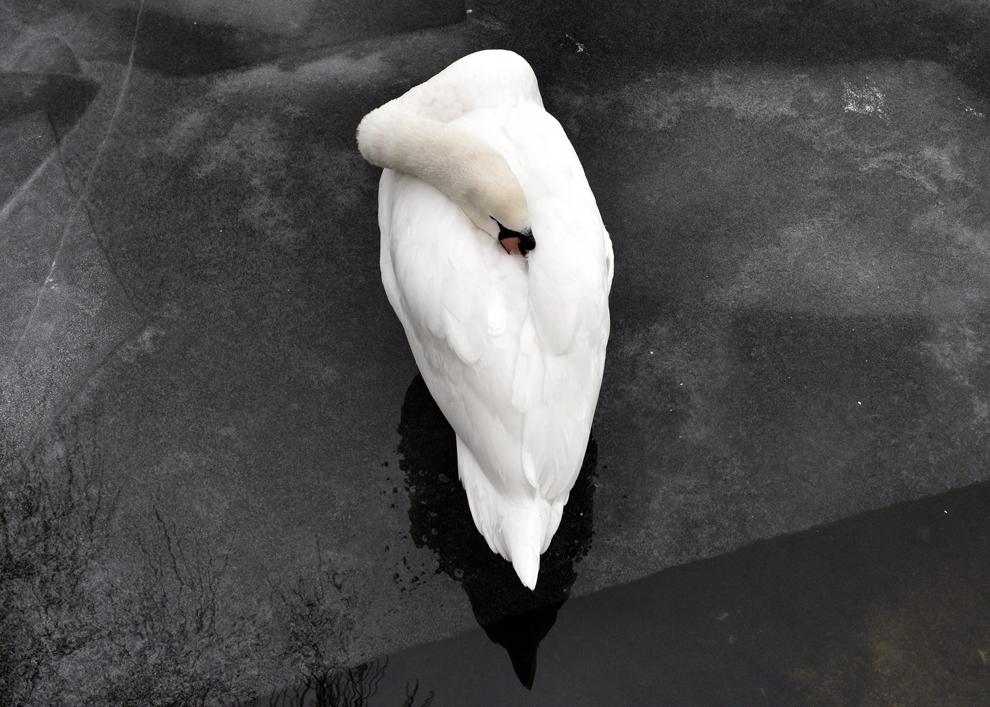 O lebădă stă pe o bucată de gheaţă formată pe râul Spree, în parcul Treptowe din Berlin, Germania, vineri, 31 ianuarie 2014.
