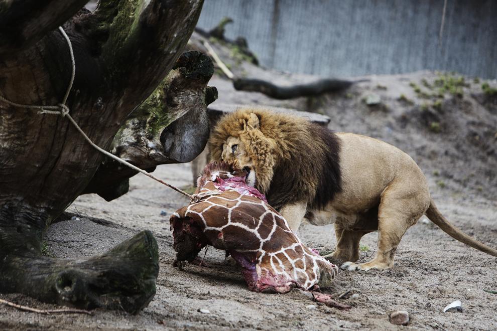 Un leu mănâncă rămăşiţele girafei Marius, ce a fost împuşcată la grădina zoologică din Copenhaga, Danemarca, duminică, 9 februarie 2014. Girafa Marius, în vârstă de 18 luni, a fost eutanasiată pentru a evita reproducerea în cadrul aceleiaşi familii.