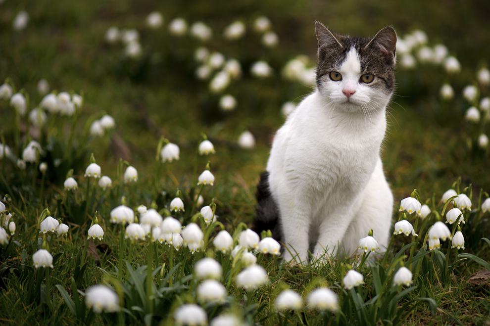 O pisică stă printre narcise, în Langenwolmsdorf, Germania, marţi, 4 martie  2014.