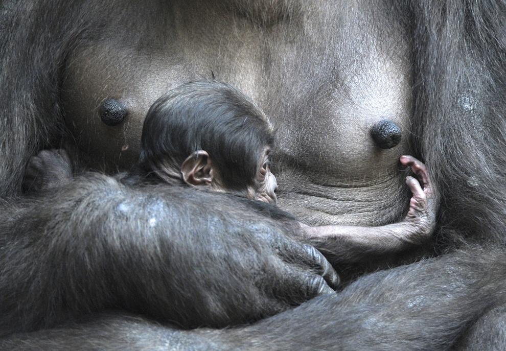 Gorila Kumili îşi ţine în braţe puiul, în grădina zoologică din Leipzig, Germania, vineri, 14 martie  2014.