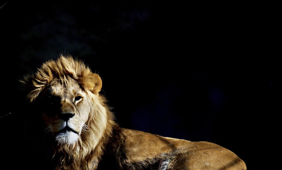 Un leu poate fi văzut în grădina zoologică Tierpark Hellabrunn din Munhen, Germania, luni, 17 martie  2014.