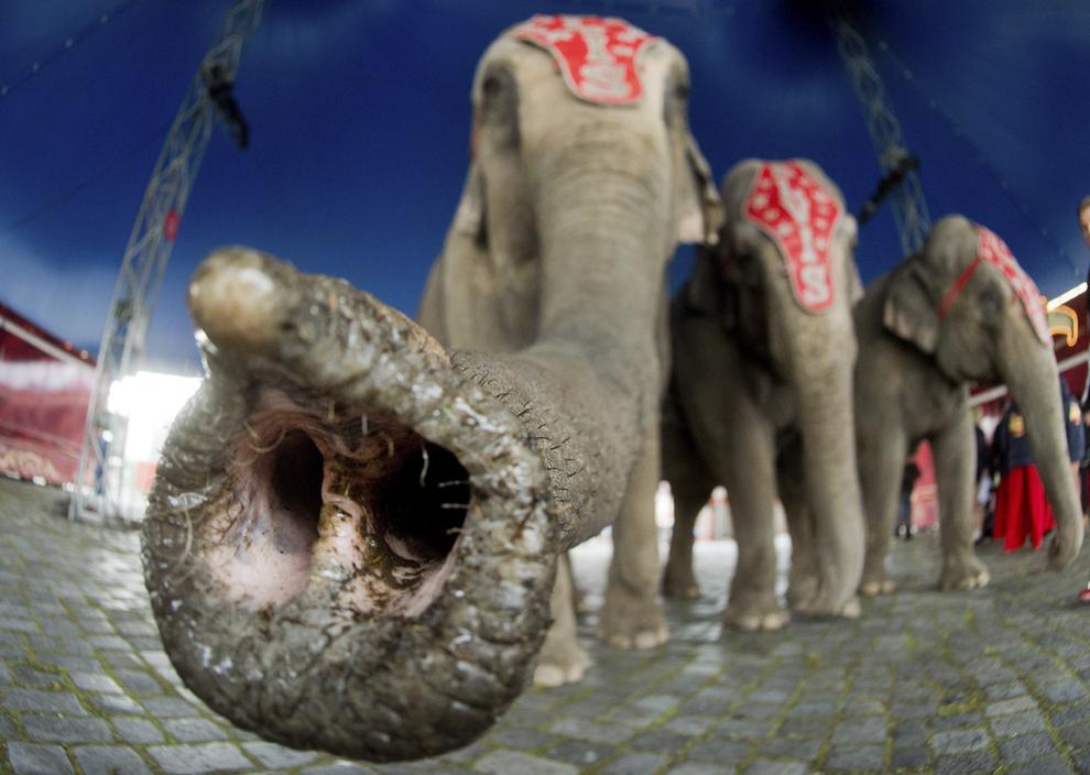 Un elefant îşi intinde trompa către aparatul de fotografiat, în timpul unei oportunitaţi de imagine la Circul Charles Knie în Hanovra, Germania, luni, 24 martie 2014.