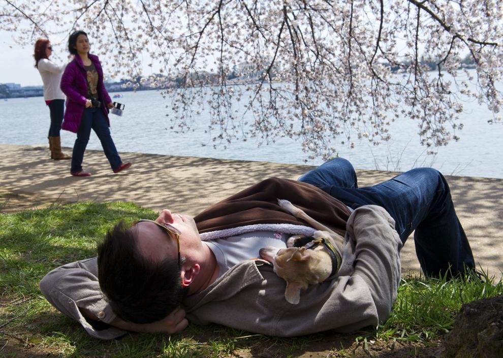 Un bărbat ce ţine în braţe un căţel, se odineşte sub un cireş înflorit, în Washington, miercuri, 9 aprilie 2014.