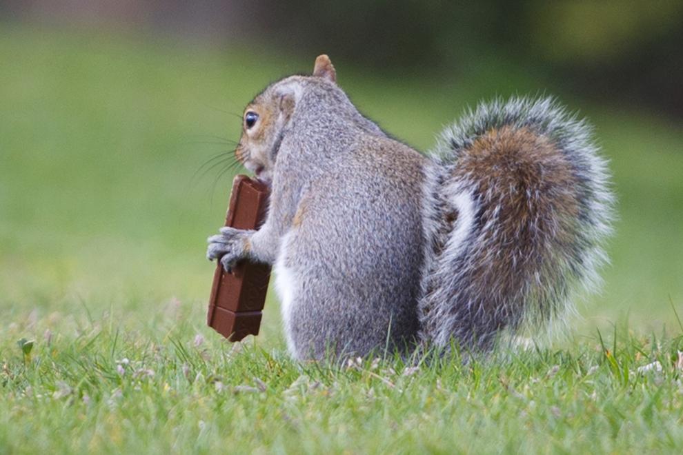 O veveriţă mănâncă o ciocolată în parcul Greenwich din Londra, vineri, 11 aprilie 2014.