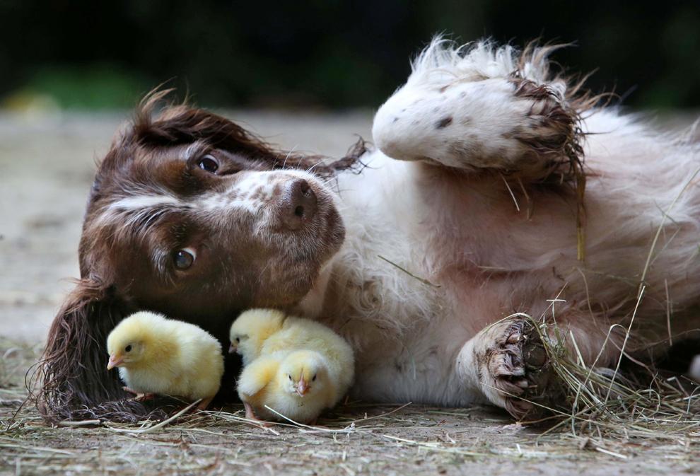 Un câine din rasa Springer Spaniel se joacă cu trei pui de găină, în Devon, Marea Britanie, duminică, 6 aprilie 2014.