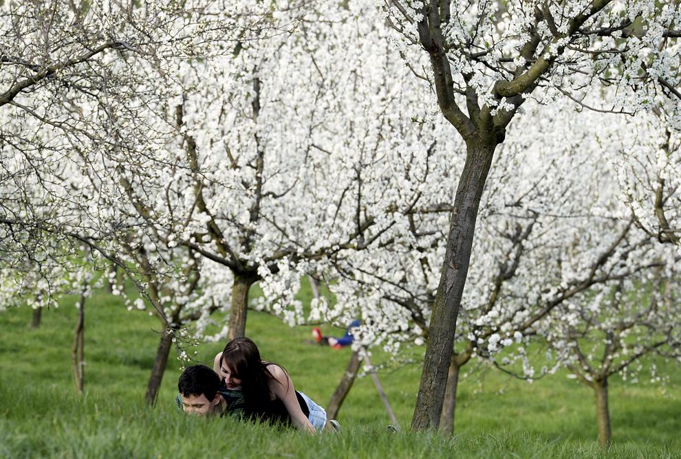Un cuplu se relaxează pe un câmp cu cireşi înfloriţi, în Praga, Cehia, joi, 3 aprilie 2014.