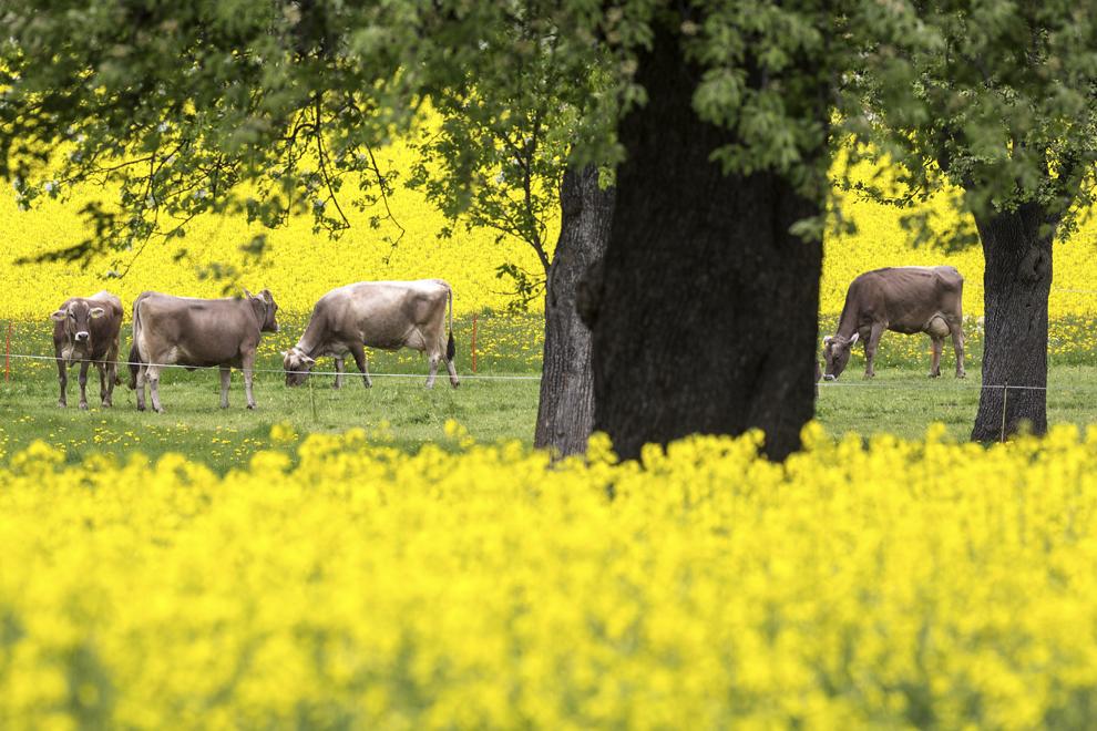 Vaci pasc pe un câmp de rapiţă, în Trimmis, Cantonul Grisons, Elveţia, luni, 21 aprilie 2014.