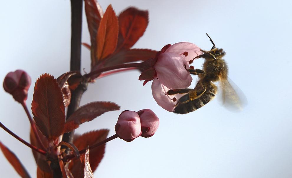 O albină colectează polen dintr-un cireş înflorit, în Fuessen , Germania, marţi, 1 aprilie 2014.