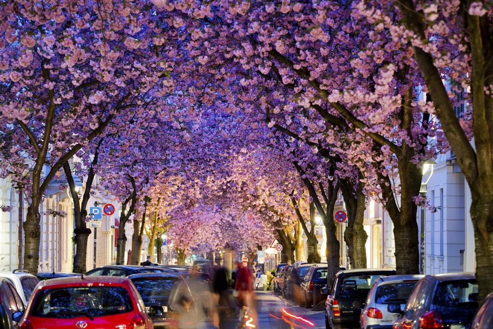 Persoane se plimbă pe o stradă încadrată de cireşi înfloriţi, în Bonn, Germania, miercuri, 3 aprilie 2014.