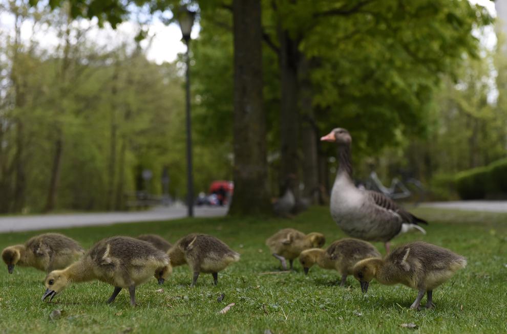 Gâşte se plimbă printr-un parc din districtul Schwabing din Munchen, miercuri, 9 aprilie 2014.