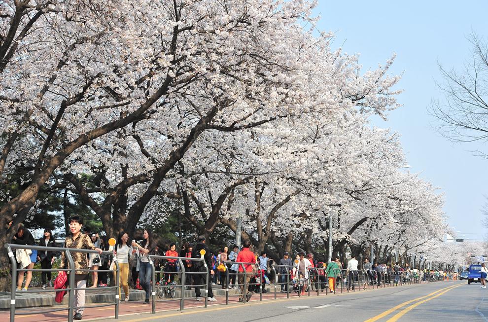 Pietoni circulă pe un trotuar încadrat de cireşi înfloriţi, în Seul, marţi, 1 aprilie 2014.