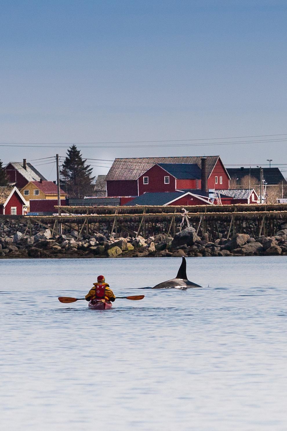 In luna mai, balenele ucigase se intorc in Lofoten si fac un popas in Reinefjord. Sa te plimbi cu caiacul sau cu barca printre balenele ucigase e o experienta minunata.