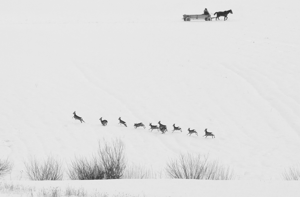 Un cârd de căprioare aleargă pe un câmp din judeţul Covasna, în apropierea rezervaţiei naturale Reci, duminică, 14 ianuarie 2012.