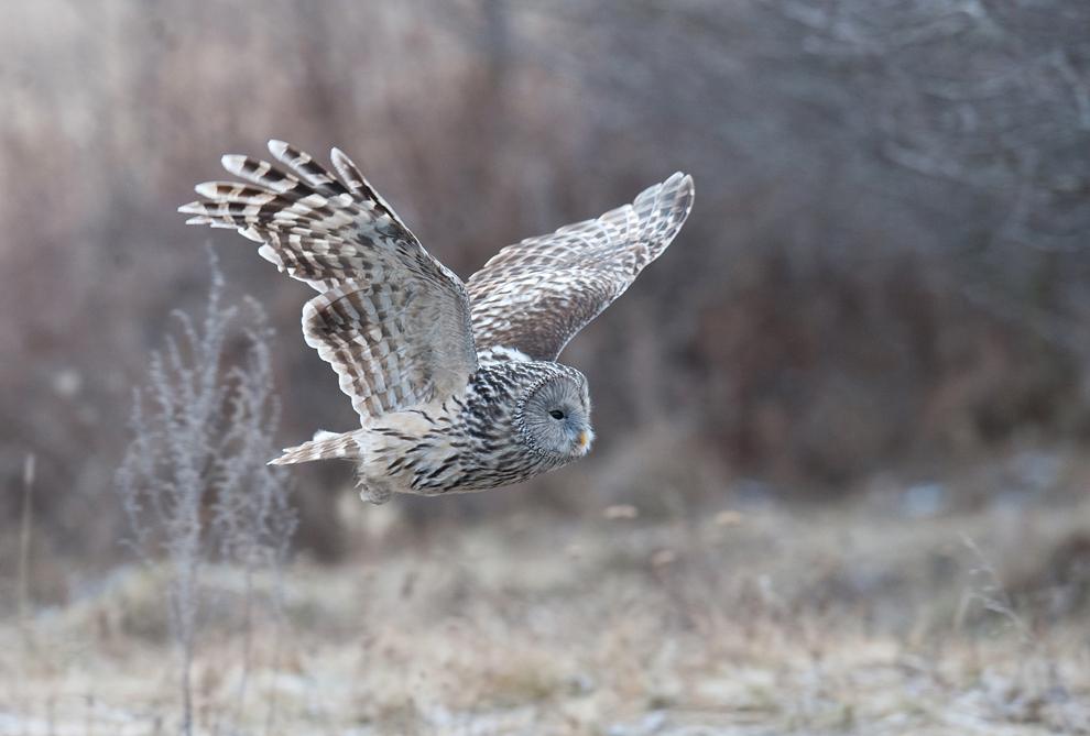 Un exemplar din specia huhurez mare zboară în căutarea hranei, în rezervaţia naturală Reci din judeţul Covasna, duminică, 17 ianuarie 2010.