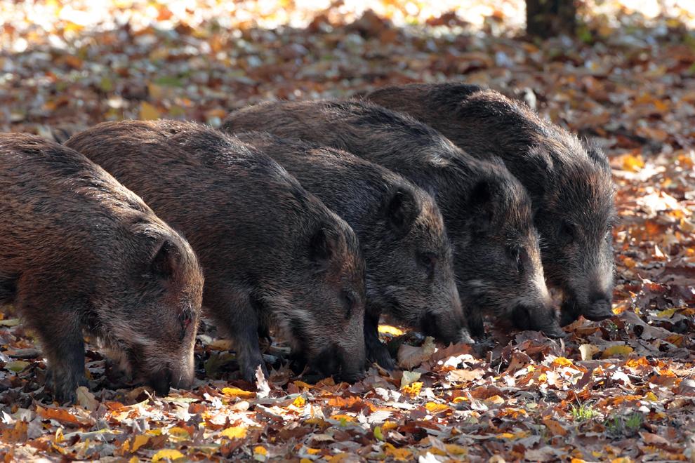 Mai mulţi pui de porc mistreţ caută mâncare printre frunzele căzute, într-o pădure din Munţii Baraolt, vineri, 29 octombrie 2010.