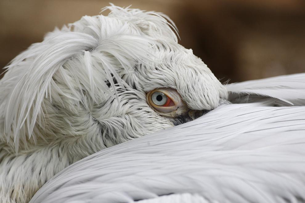 Un pelican creţ se odihneşte pe lacul Argintiu, din rezervaţia Biosferei Delta Dunării, vineri, 9 octombrie 2009.