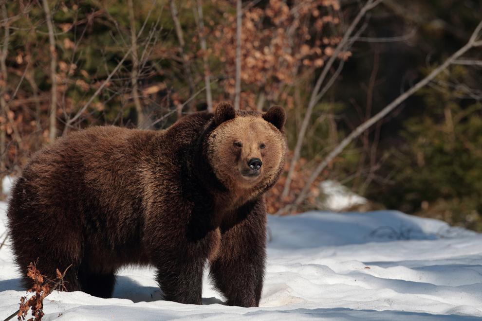 O ursoaică merge printr-o poiană din Munţii Maramureşului, sâmbătă, 24 martie 2012.