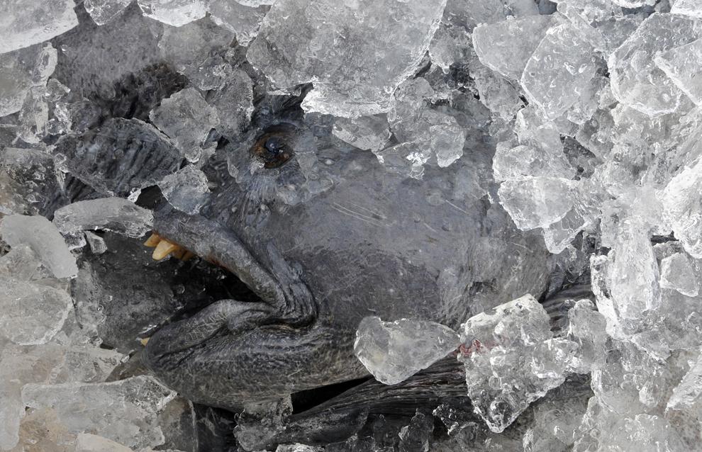 Un peste poate fi văzut într-o cutie cu gheaţă, înainte de a fi depozitat pentru export, în Reykjavik, joi, 9 octombrie 2008.