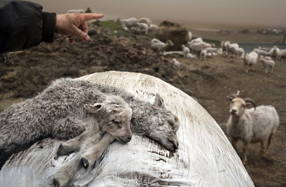 Doi miei ucişi de valul de cenuşă aruncat în aer de erupţia vulcanului Grimsvoetn, aparţinând fermierului islandez Helgi Vilber Johansson, a cărui mână se află în cadru, pot fi văzuţi în Amardrangi Landbroti, miercuri, 25 mai 2011.