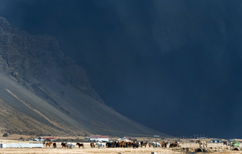 Animale pasc pe un câmp din apropierea vulcanului Eyjafjallajokull, în timp ce acesta continuă să arunce în aer cantităţi uriaşe de cenuşă vulcanică şi fum, sâmbătă, 17 aprilie 2010.