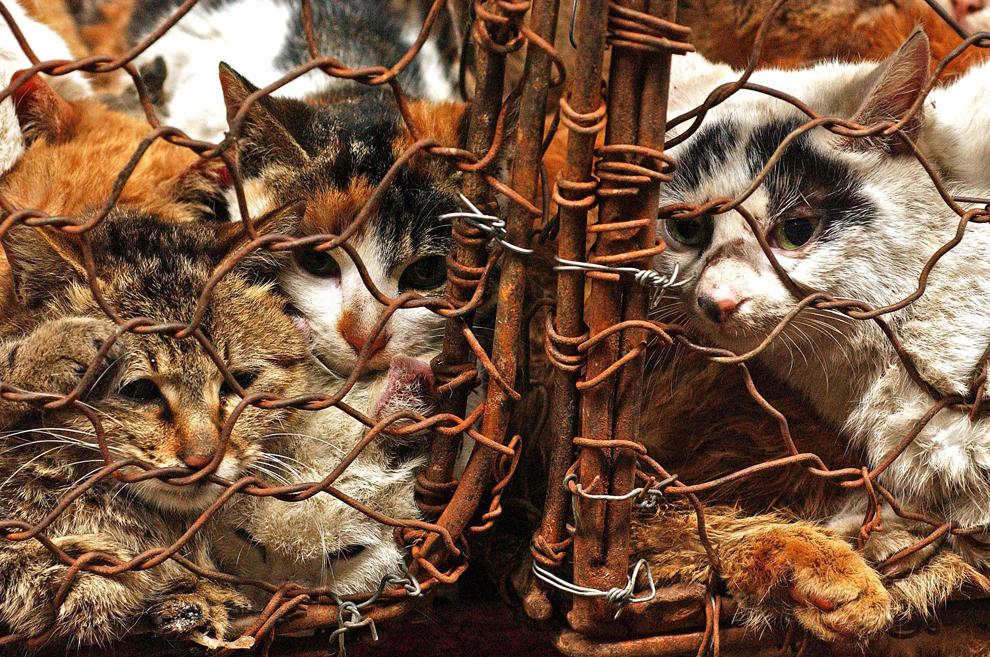Pisici ţinute în cuşcă sunt vândute la pungă într-o piaţă de animale din Guanzhou, China. În timp ce Marea Britanie şi Europa sunt afecatate de scandalul cărnii de cal, chinezii se întreabă unde este problema.