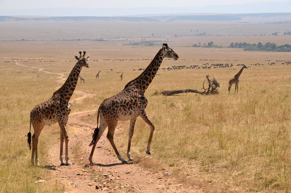 Două girafe traversează un drum de safari, în rezervaţia Masai Mara, Kenya, marţi, 16 iulie 2013.