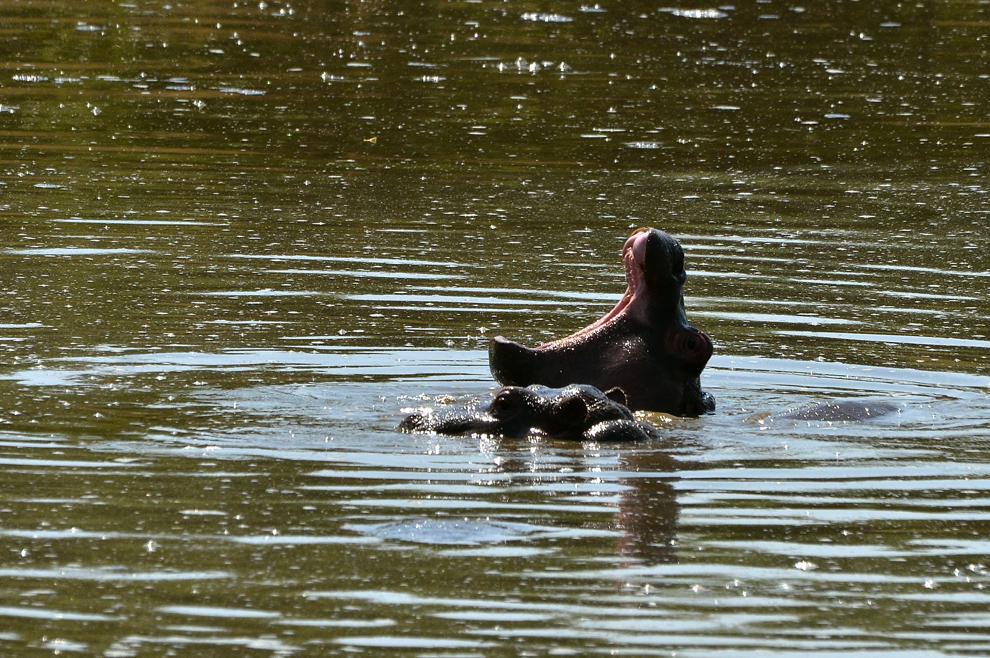 Hipopotami, în râul Mara din rezervaţia Masai Mara, Kenya, marţi, 16 iulie 2013.