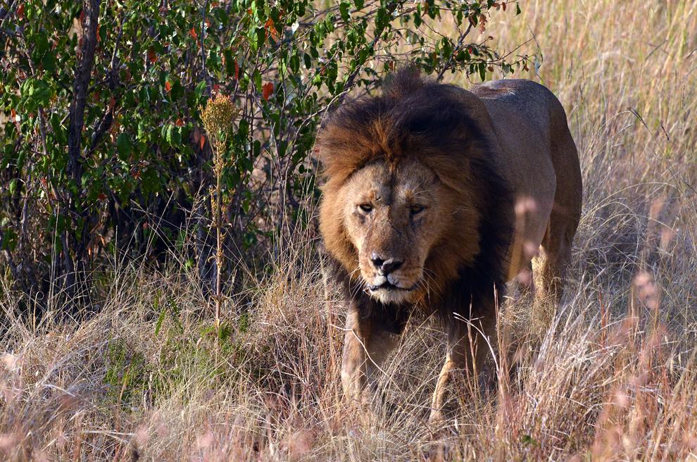 Leu, în rezervaţia Masai Mara, Kenya, miercuri, 17 iulie 2013.