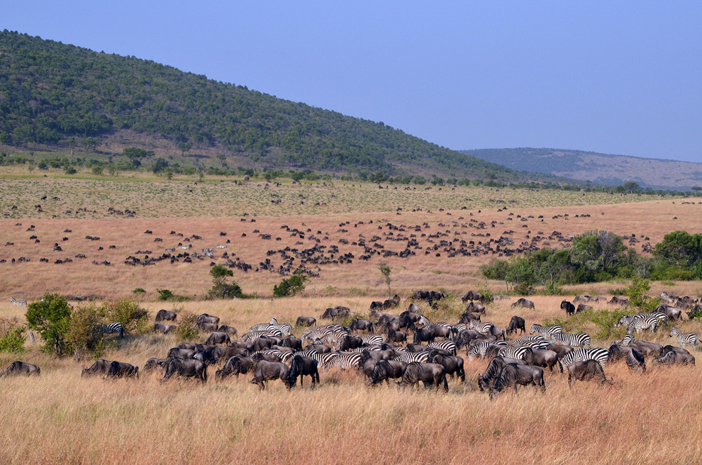 Turme de antilope gnu şi zebre, în rezervaţia Masai Mara, Kenya, miercuri, 17 iulie 2013.