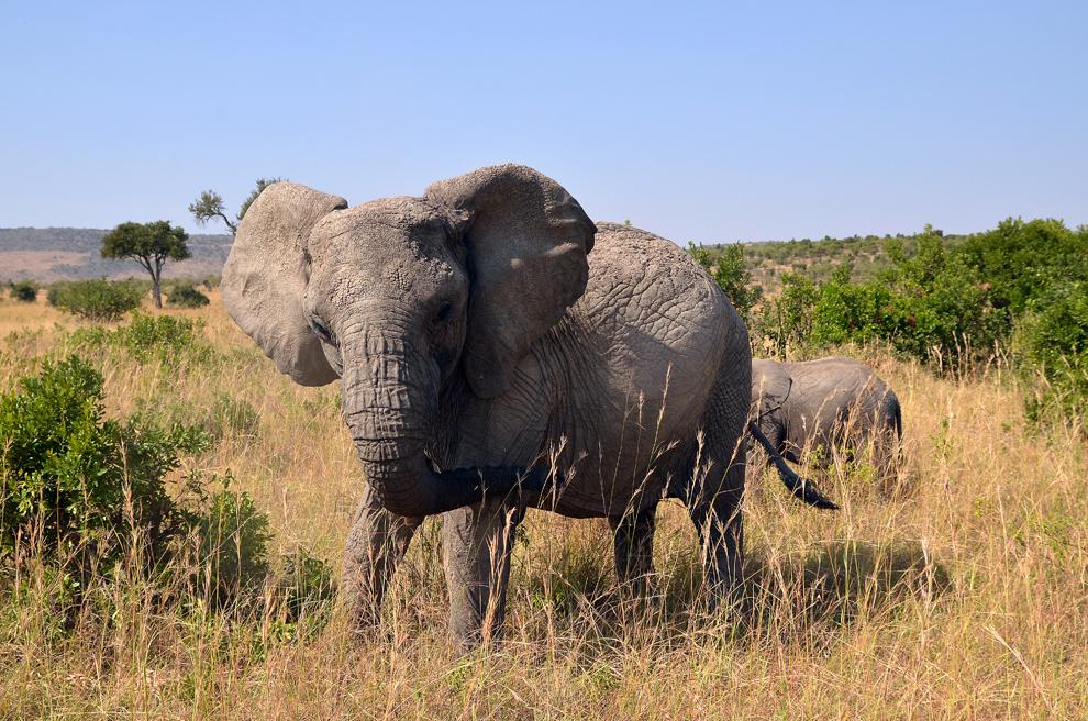 Femelă de elefant cu pui, în rezervaţia Masai Mara, Kenya, miercuri, 17 iulie 2013.
