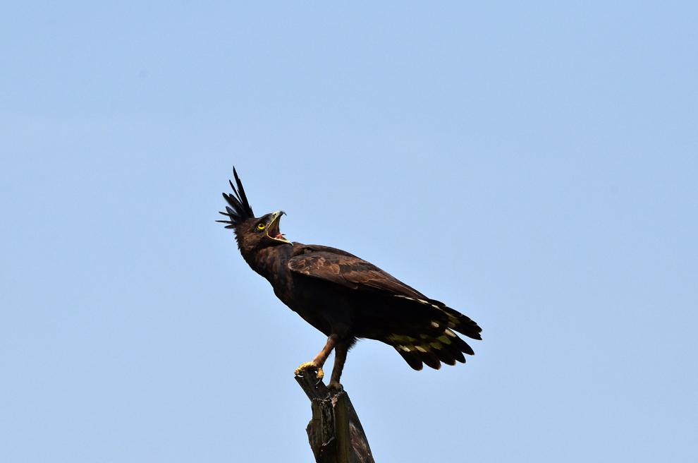 Vultur cu creastă, în rezervaţia Nakuru, Kenya, vineri, 19 iulie 2013.