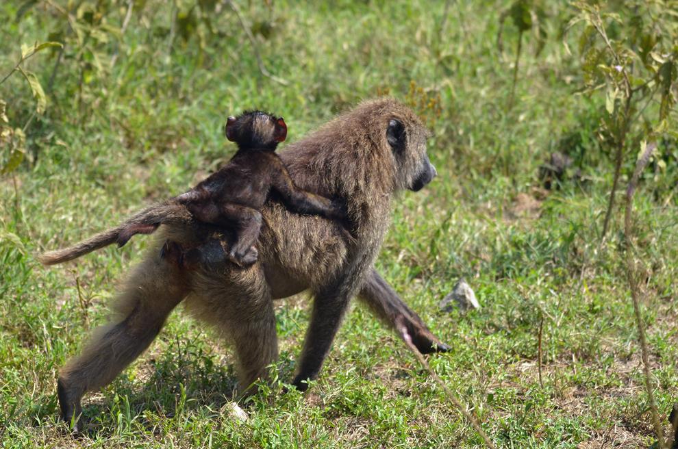 Femela de babuin cu pui, în rezervaţia Nakuru, Kenya, vineri, 19 iulie 2013.