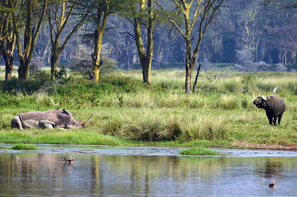 Rinocer alb şi bivol african, în rezervaţia Nakuru, Kenya, vineri, 19 iulie 2013.