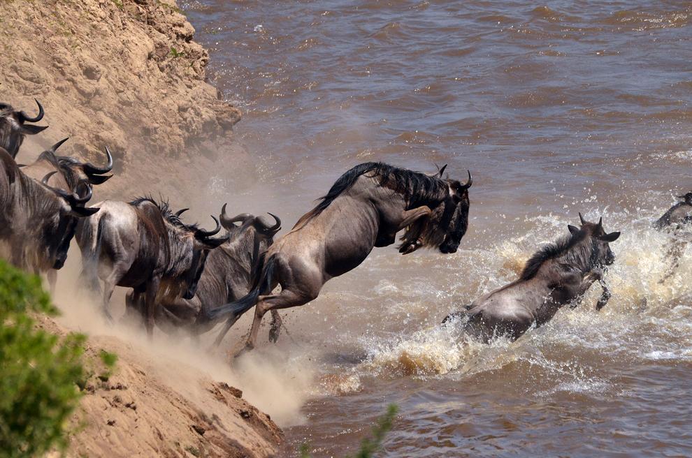 Marea Migraţie a antilopelor gnu peste râul Mara, în rezervaţia Masai Mara, Kenya, marţi, 16 iulie 2013.