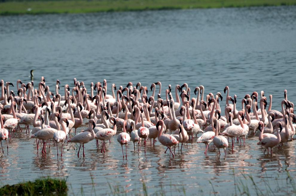 Păsări flamingo, în rezervaţia Nakuru, Kenya, vineri, 19 iulie 2013.
