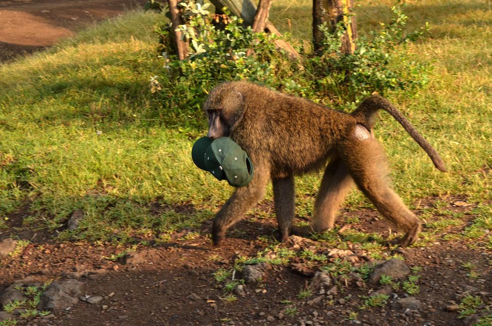 Babuin mascul, în rezervaţia Nakuru, Kenya, sâmbătă, 20 iulie 2013.