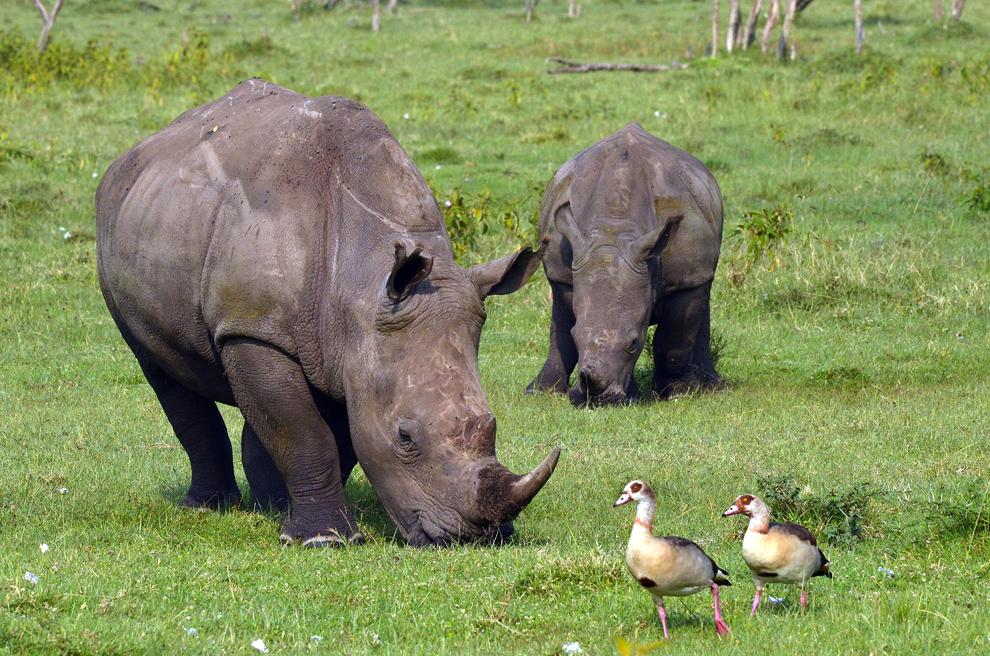 Familie de rinoceri, în rezervaţia Nakuru, Kenya, sâmbătă, 20 iulie 2013.