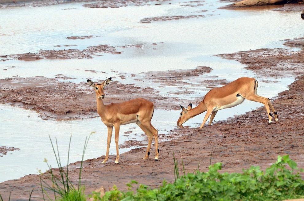 Antilope Impala, în rezervaţia Samburu, Kenya, duminică, 21 iulie 2013.