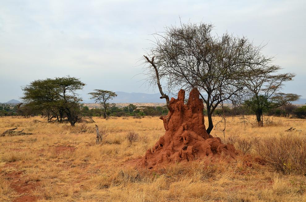 Colonie de termite, în rezervaţia Samburu, Kenya, duminică, 21 iulie 2013.