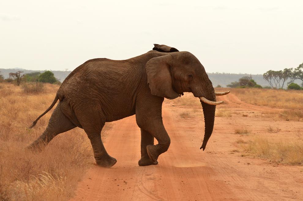 Un elefant traversează un drum de safari din rezervaţia Samburu, Kenya, duminică, 21 iulie 2013.