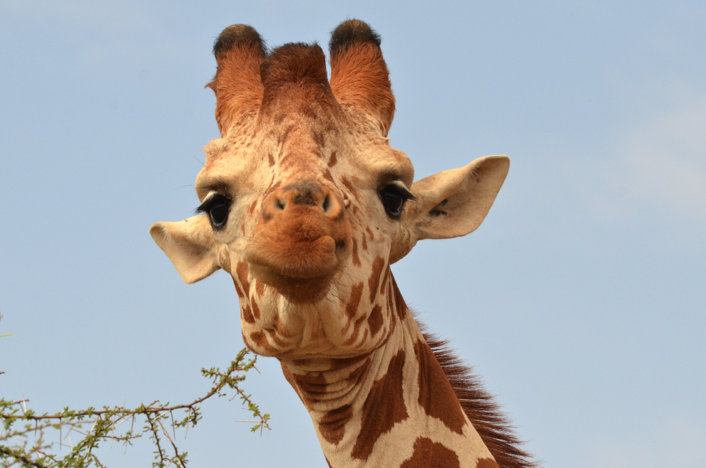 Girafă, în rezervaţia Samburu, Kenya, duminică, 21 iulie 2013.