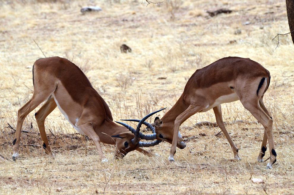 Doi masculi de antilopă Impala se confruntă, în rezervaţia Samburu, Kenya, duminică, 21 iulie 2013.