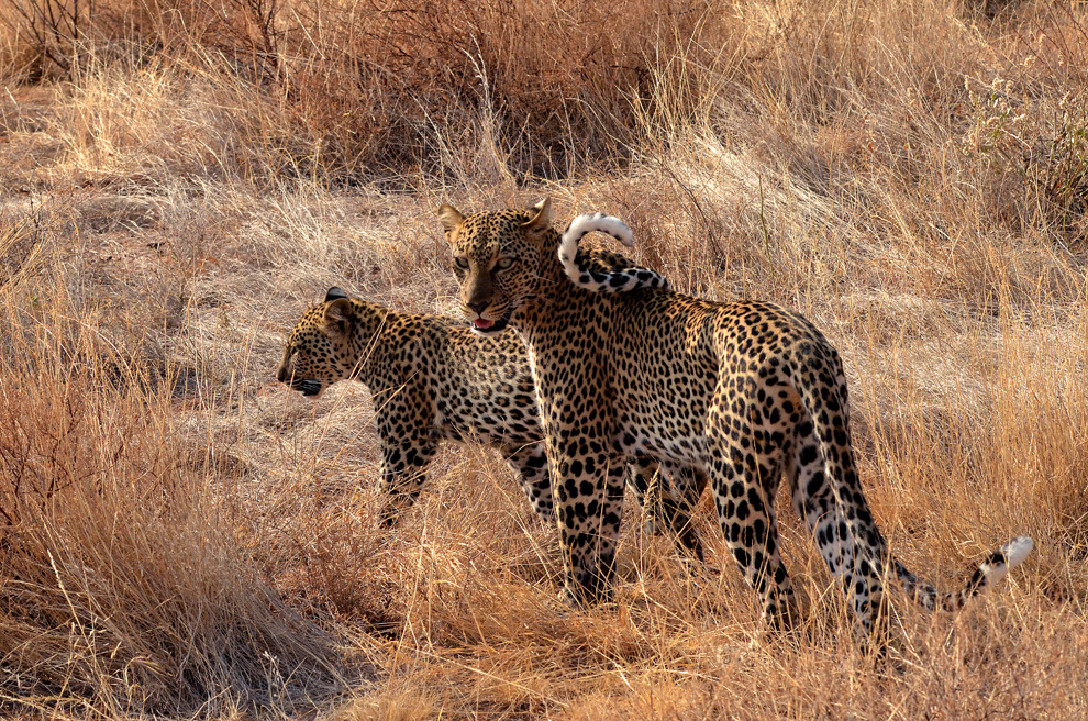 Femelă de leopard cu pui, în rezervaţia Samburu, Kenya, duminică, 21 iulie 2013.