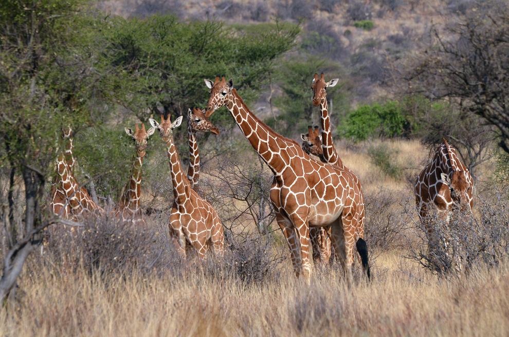 Grup de girafe, în rezervaţia Samburu, Kenya, duminică, 21 iulie 2013.