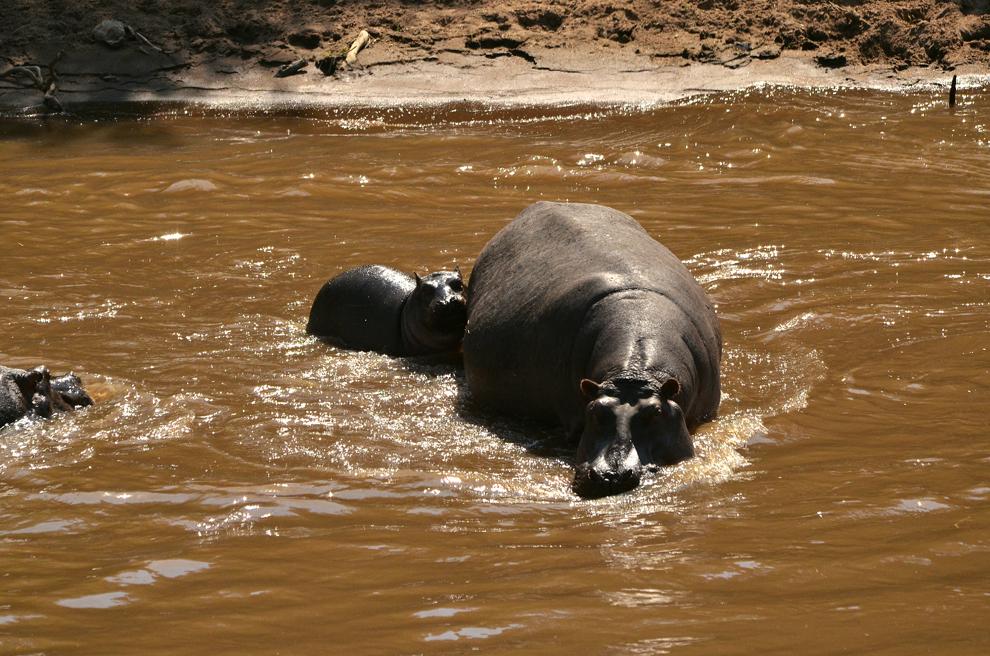 Familie de hipopotami, în râul Mara din rezervaţia Masai Mara, Kenya, marţi, 16 iulie 2013.