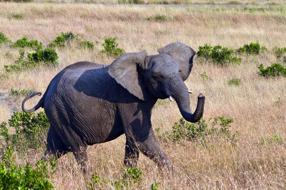 Elefant, în rezervaţia Masai Mara, Kenya, luni, 15 iulie 2013.